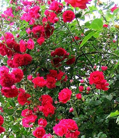 Вьющиеся растения для сада плетистая