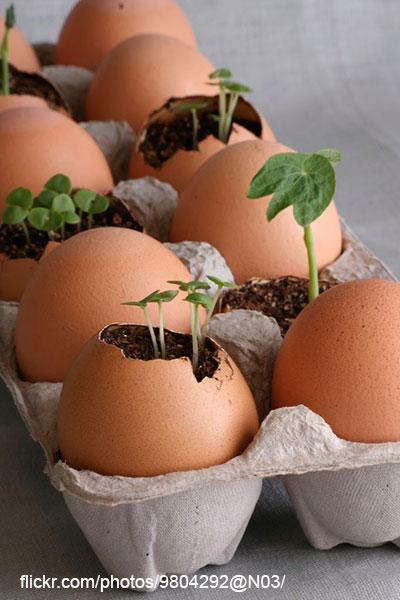 Выращивание рассады настурции в яичной скорлупе