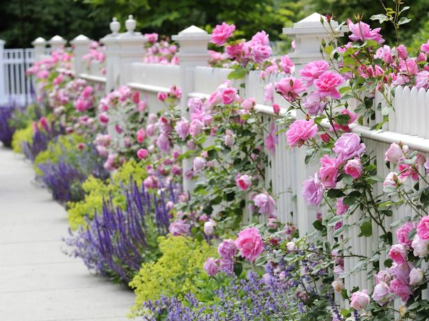Розы около забора