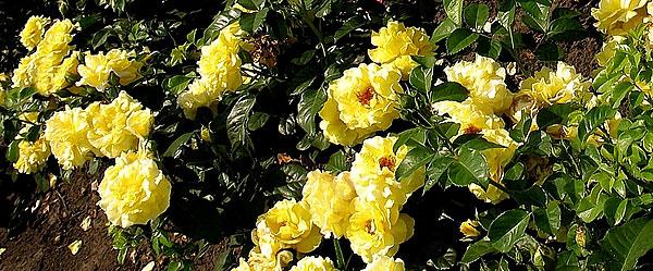 Почвопокровные розы 1-1
