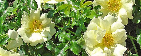 Почвопокровные розы 1