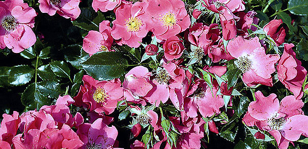 Почвопокровные розы 10