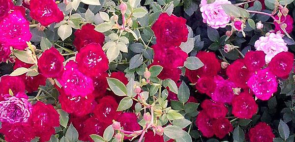 Почвопокровные розы 11-1