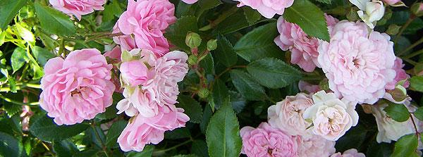 Почвопокровные розы 4