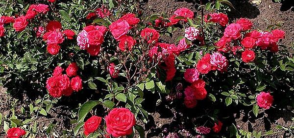 Почвопокровные розы 8