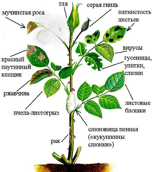 Болезни садовых роз