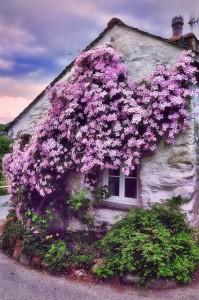 Клематис на стене дома