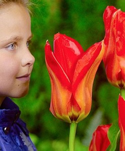 Большой тюльпан сорта Temple of Beauty