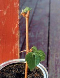 Пересадка черенка винограда в грунт