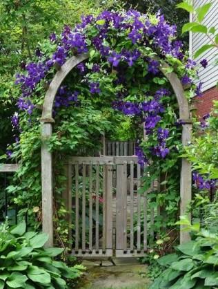 Клематис в саду на арке