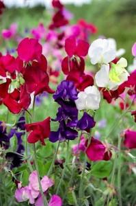 Цветущий душистый горошек