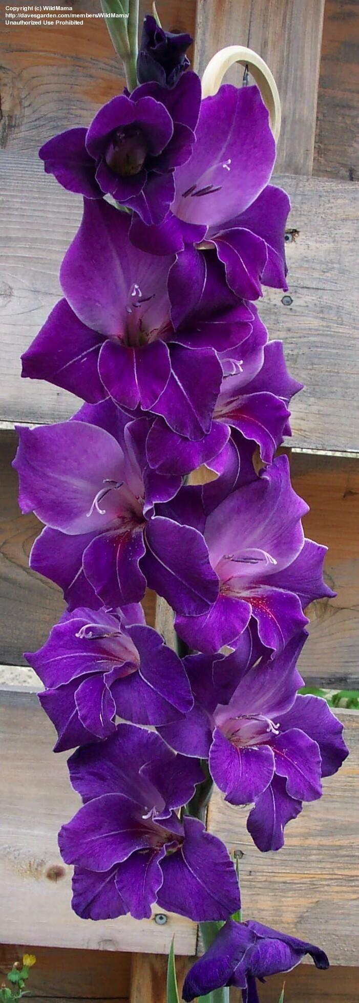 Гладиолус сорта Violetta