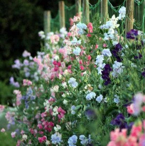 Душистый горошек цветет