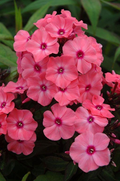 Розовые флоксы сорта DITOMDRE