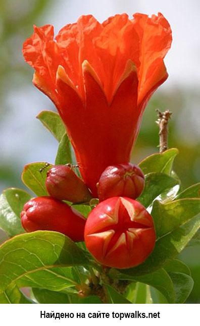 Выращиваем Гранат саженцами из семян — Технология
