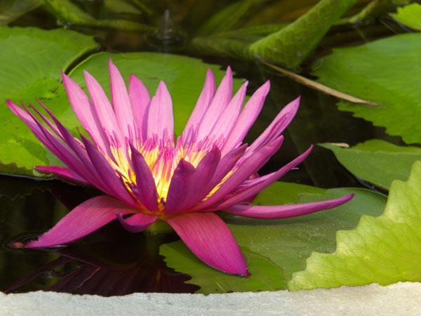 водяные лилии макро