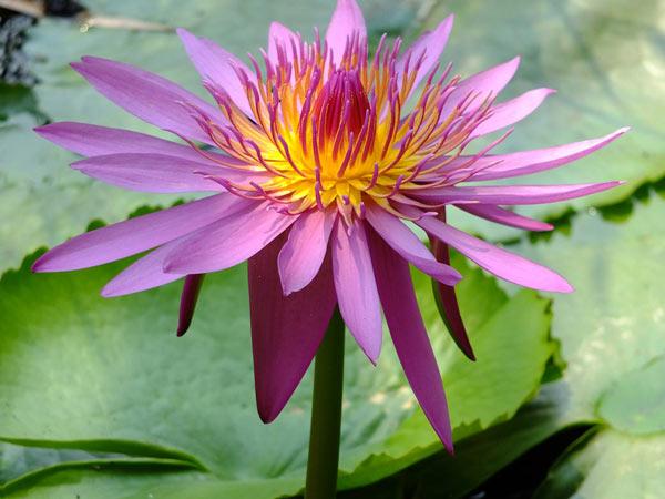 Цветок водяной лилии макро