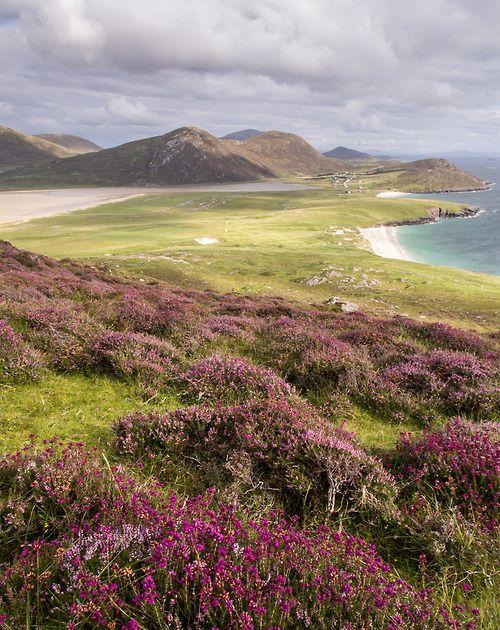 вересковые заросли в шотландии