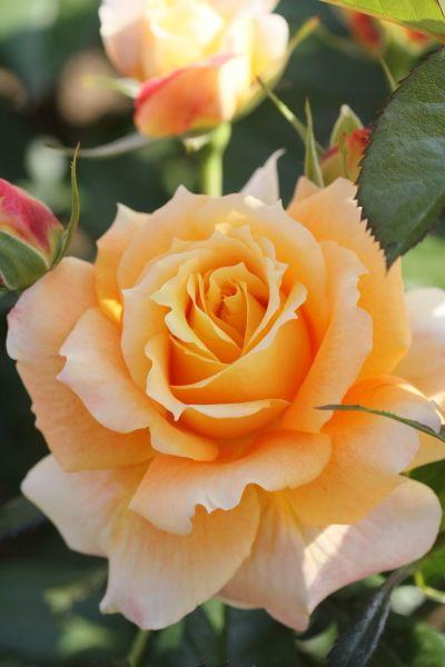 Роза Флорибунда сорт Manyo