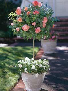 штамбовая роза в горшке контейнере