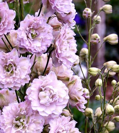 Сиреневые цветы дельфиниума