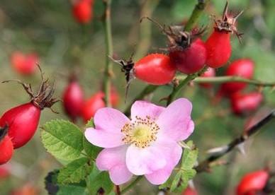 Цветы и ягоды шиповника