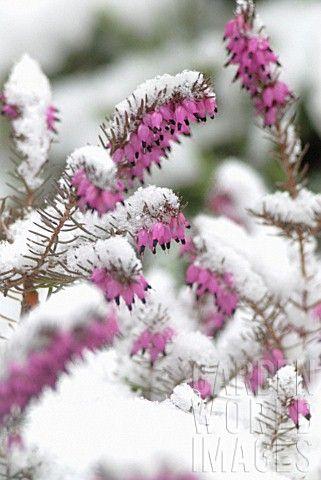 вереск зимой