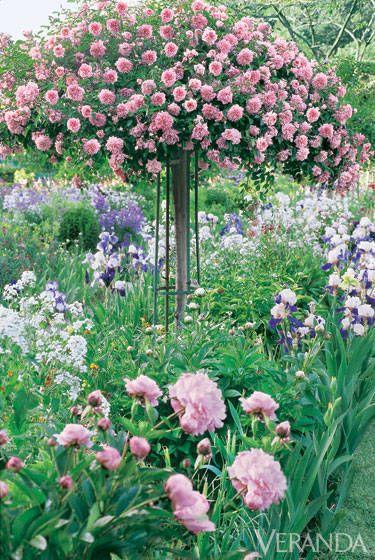 Красивая штамбовая роза