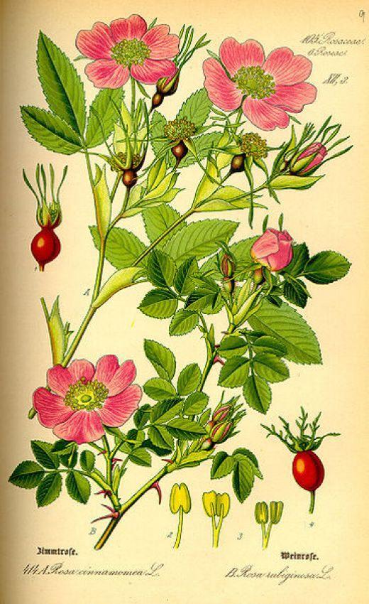 Цветы листья и плоды шиповника