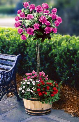 штамбовая роза в деревянной кадке