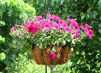 ампельные растения фото 1