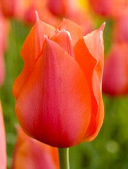 Голландский тюльпан Темпл оф Бьюти