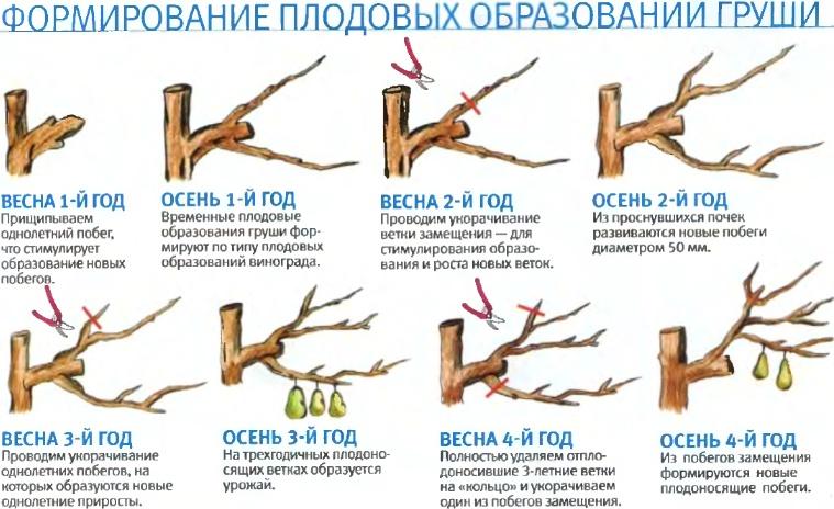 Как обрезать дерево грушу для обильного урожая