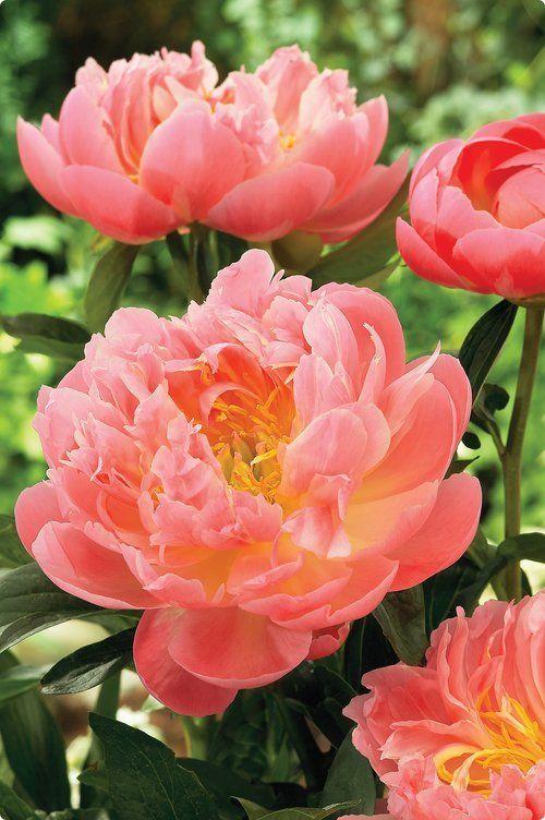 Нежный розовый пион
