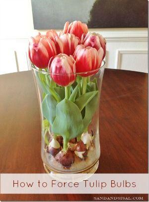 Выгонка тюльпанов весной