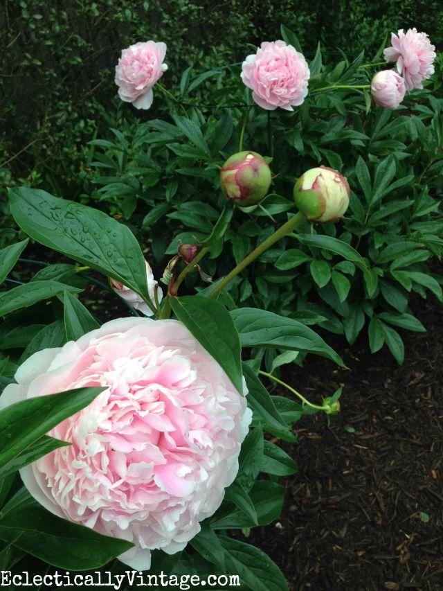 Цветущий садовый пион