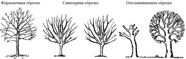 Виды обрезок плодовых деревьев