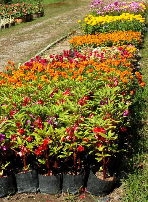 садовые цветы рассада