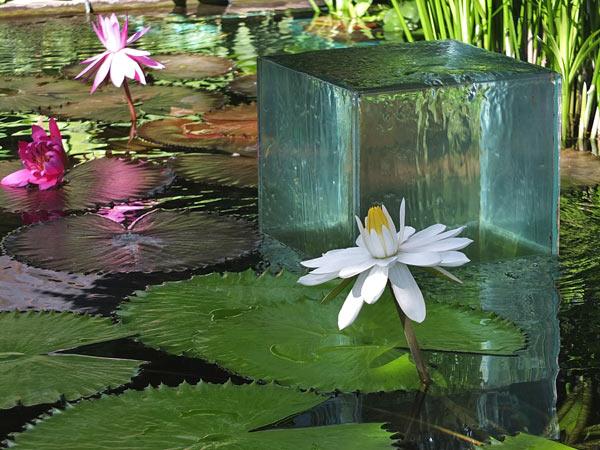 белые водяные лилии фото