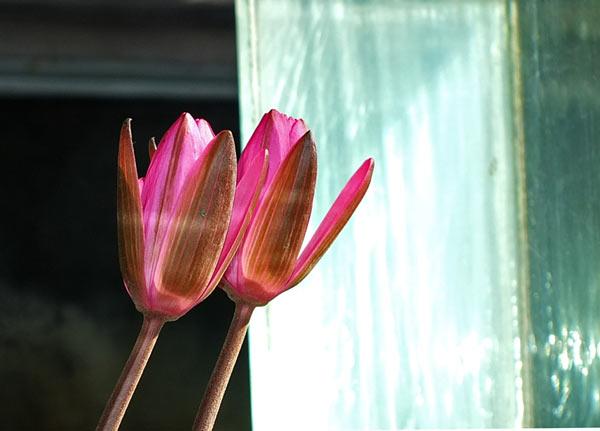 водяные лилии фото
