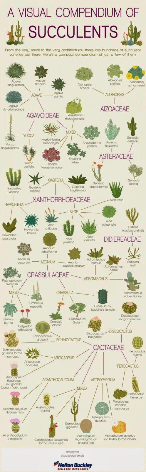 Виды и сорта кактусов и суккулентов