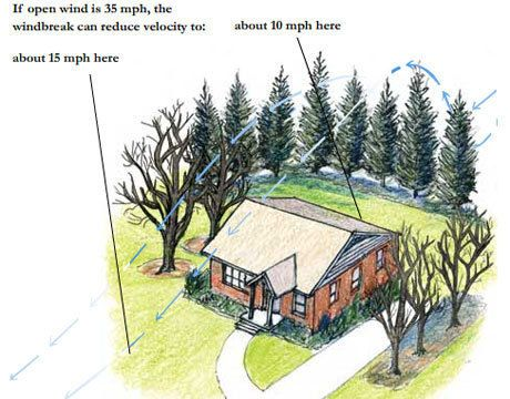 Как хвойники могут уменьшить ветер на участке