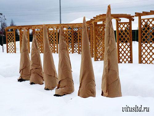 Неправильное укрытие хвойников вощеной бумагой на зиму