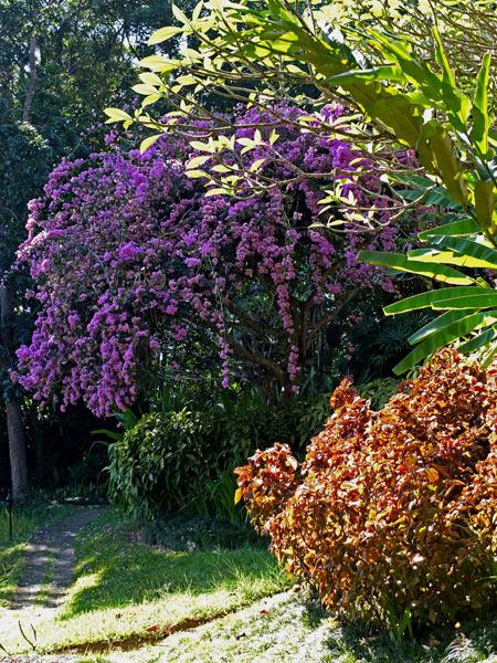 бугенвиллия в саду