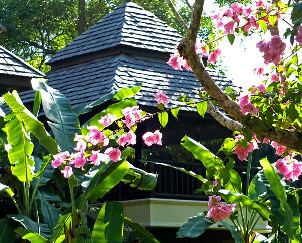 цветы бугенвиллеи