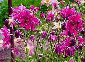 Садовые цветы и растения. 106