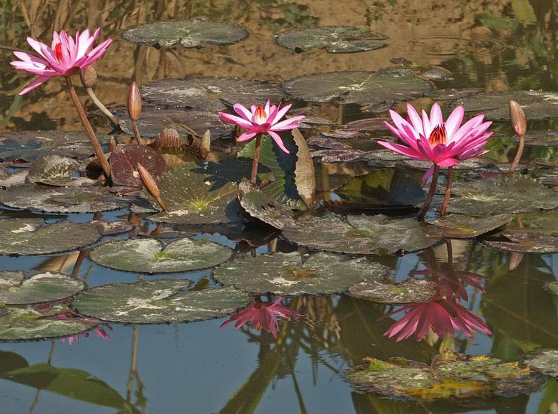 водяные лили нимфеи фото 6