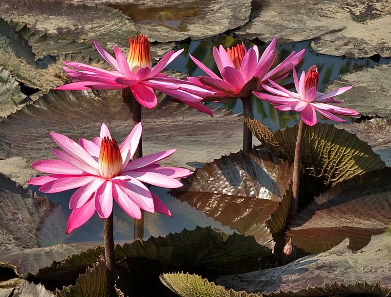 водяные лили нимфеи фото 8