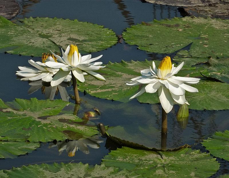 водяные лили нимфеи фото 10