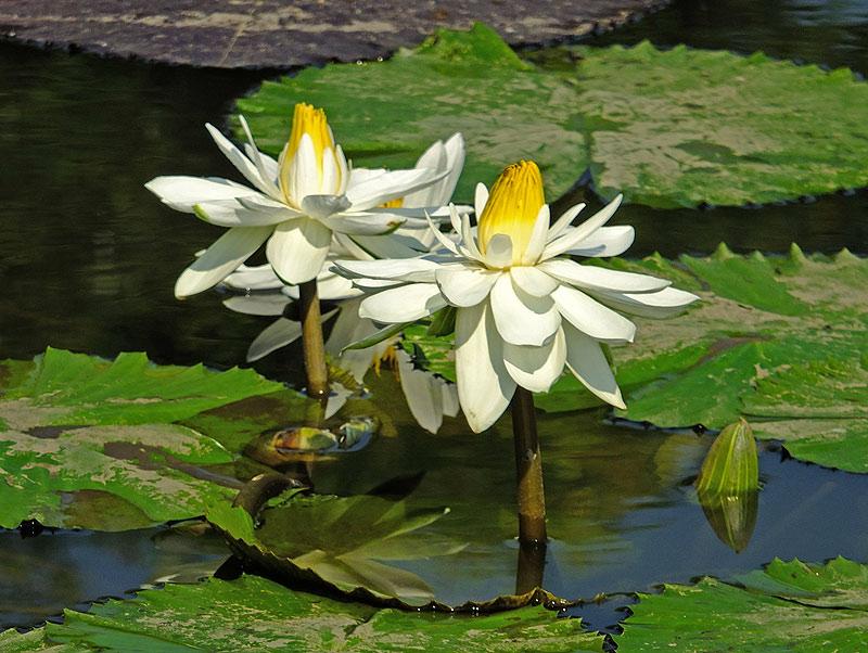 водяные лили нимфеи фото 11